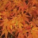 Acer palmatum Green Glory - Japanese Maple