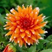 Dahlia Colour Spectacle