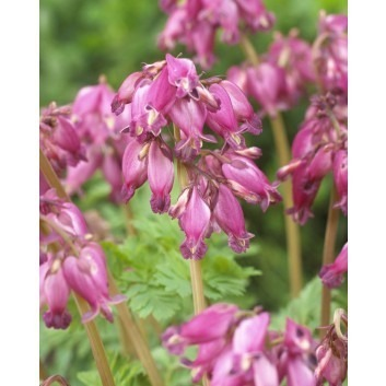 Dicentra formosa Luxuriant - Dwarf Bleeding Heart