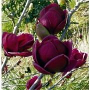 Magnolia Black Tulip - RARE Deep Purple-Black Flowering Tulip Tree