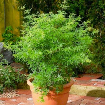 Large Acer Japanese Maple Tree - Seiryu