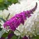 Buddleia Miss Ruby - Buddleja Butterfly Bush
