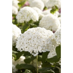Hydrangea arborescens 'Incrediball' - Strong Annabelle - Giant Football Size White Flowers