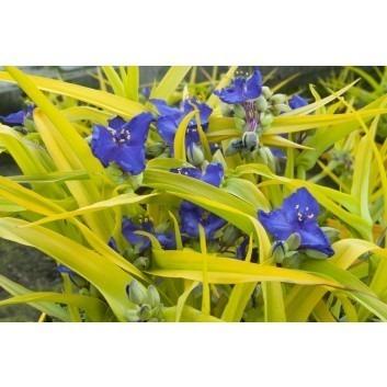 Tradescantia Sweet Kate (Blue N Gold)
