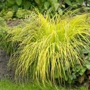 Carex elata Aurea - Bowles Golden Grass