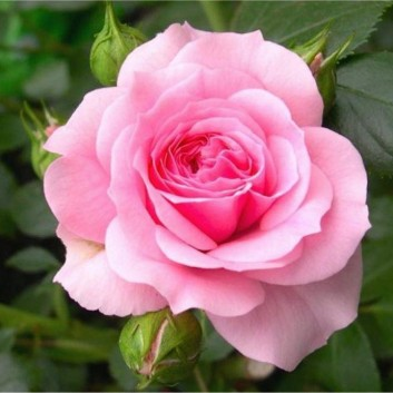 """MOTHERS DAY GIFT PLANT - """"Mum in a Million"""" Rose to Grow"""