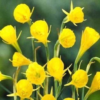 Narcis bulbocodium - Daffodil