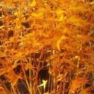 Acer palmatum Bihou - Bi Ho Golden Bark Japanese Maple - Fantastic Year Round Colour