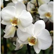 Luxury Phalaenopsis - WHITE Moth Orchid in Stylish White display pot