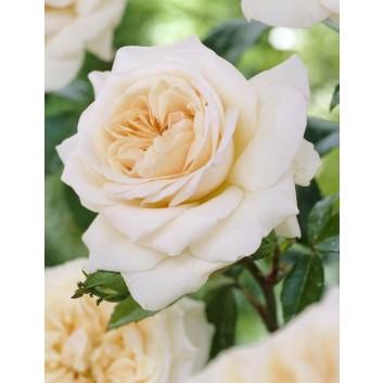 Rose Penny Lane - Climbing Rose