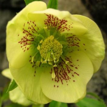 Helleborus orientalis Yellow Speckled - Hellebore