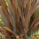 Phormium Amazing Red - New Zealand Flax