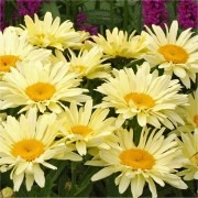 Leucanthemum superba Banana Cream - Shasta Daisy