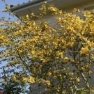 Fremontodendron California Glory - Californian Flannel Bush
