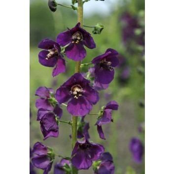 Verbascum Phoencinium