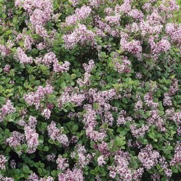 Syringa Palibin - Dwarf Scented Lilac Bush