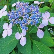 Hydrangea Blue Lace-cap - Giant Football sized Flowers - Large Plants