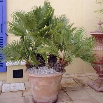 Pair of Hardy Mediterranean Fan Palm Plants - Chamaerops humilis