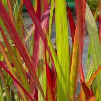 Imperata cylindrica Rubra - Red Barron - Japanese Blood Grass
