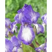Iris Blue Shimmer - Bearded Iris