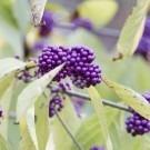 Callicarpa bodinieri giraldii 'Profusion' - Beauty Berry Large Plants