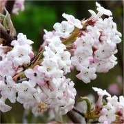 SPECIAL DEAL - Viburnum Charles Lamont - Pack of THREE Plants