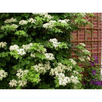 Hydrangea petiolaris - Climbing Hydrangea - Pack of TWO Plants