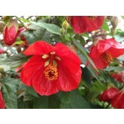 Abutilon hybrida ORANGE-RED - Flowering Maple