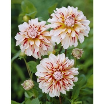 SPECIAL DEAL - Dahlia Caribbean Fantasy - PREMIUM VARIETY - Pack of THREE