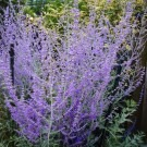Perovskia Blue Spire - Russian Sage - Pack of THREE