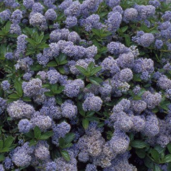 Ceanothus thyrsiflorus repens - Californian Lilac - Pack of THREE Plants