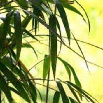 Pseudosasa japonica - Arrow Bamboo - 140cm tall Plants