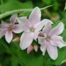 Jasminum x Stephanense - Jasmine