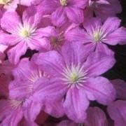 Clematis Comtesse de Bouchard - Summer Flowering Clematis