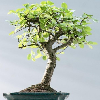 Large Chinese Elm Bonsai Tree with Glased dish and saucer in Gift Box
