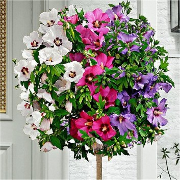 Large Tricolor Hibiscus Tree - Three Colours on One Tree!