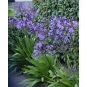 Agapanthus Sunfield - Stunning Huge Football Sized Flower Heads