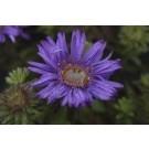 Aster novi-belgii Purple Dome'Michaelmas Daisy