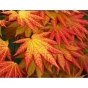 Acer shirasawanum Autumn Moon - Rare Japanese Full Moon Maple - Large