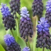 Muscari latifolium - Two-Tone Grape Hyacinths