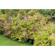 Spirea Golden Princess - Pack of THREE Plants