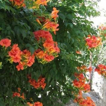 Campsis radicans Flamenco - Trumpet Vine