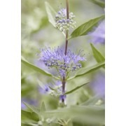 Caryopteris x clandonensis Heavenly Blue - Bluebeard