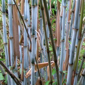 Fargesia papyrifera BLUE DRGAON - Blue Stem Clumping Umbrella Bamboo