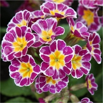 Primula Silver Laced Pink - Pack of THREE Plants