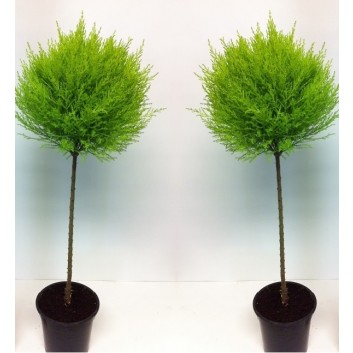 SPECIAL DEAL - Pair of Lemon Scented Evergeen Monterey Cypress Patio Goldcrest Lollipop Trees