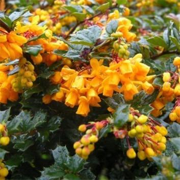Berberis Darwinii - Darwins Fiery Flowered Barberry - Pack of THREE Plants in Bud