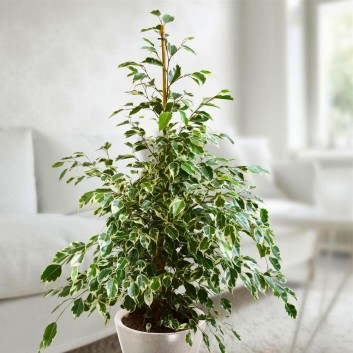 Ficus benjamina Twilight - Weeping Fig Tree - House Plant