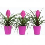 Exotic Looking Bromelia - Tillandsia cyanea Anita Plant in Pink Ceramic - Pack of THREE