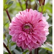 SPECIAL DEAL - Dahlia Candy Club - Pack of THREE - PREMIUM Selection